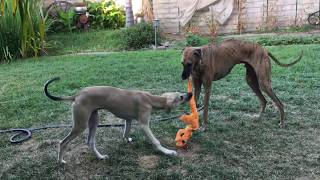 Daily Play Session  Sloughi Adults and Puppy