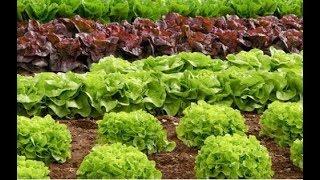 Что будет если чаще есть салат-латук