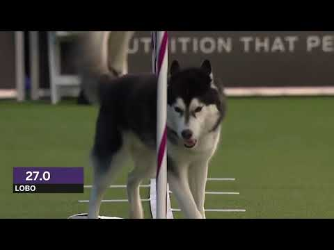Dogs: husky vs