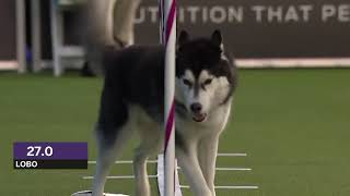 Dogs: husky vs border collie agility