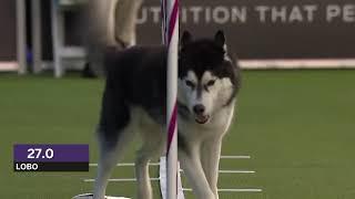 Dogs: husky vs border collie agility