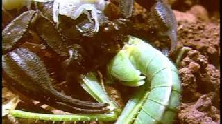 Der größte Skorpion Europas.mpg