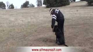 Dog Training-young Labrador Retrieving Ducks