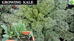 Growing Kale - A Complete Guide To Grow The Best Kale In Your Garden