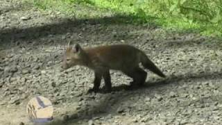 Red Fox Kits at Scherman-Hoffman Wildlife Sanctuary