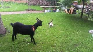 Кошка  Грунька и   коза Снежок.