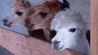 Alpaka – ssak z Ameryki Południowej, który zastąpi polską owcę?