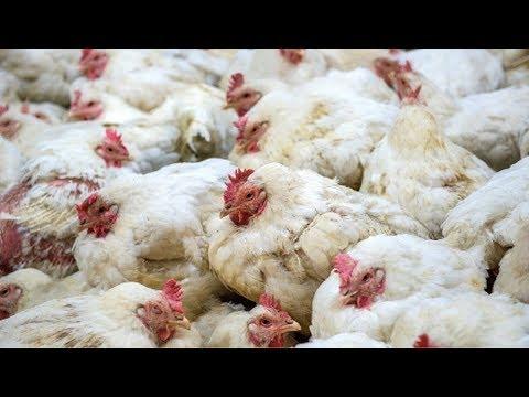 'Appetite for Destruction': How Feeding Livestock Strains the Planet