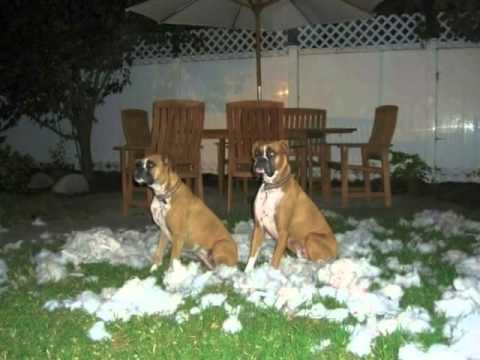 Bad Boxer Dogs! (I'm Gettin' Nuttin' for Christmas)