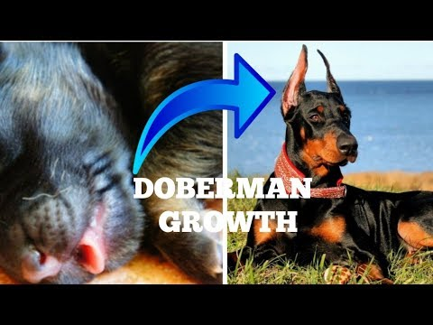 DOBERMAN DOG GROWING UP FROM 1 MONTH TO 1 YEARS ||DOGGIES TRAINING