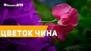 💥Семена цветов Чина, Латирус