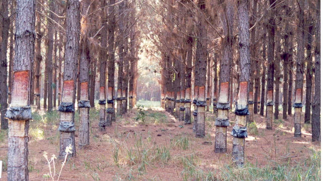 Curso Cultivo E Resinagem De Pinus