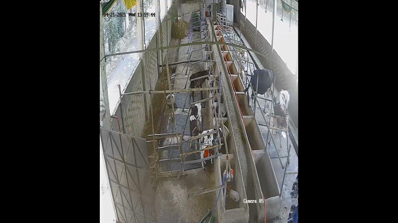 19, 20 no sale done_Red Sea Dairy Farm_cow farm in Feni Bangladesh