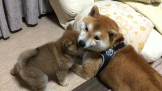 Terrible puppy パパたじたじ ☆柴犬☆コタ&アズ ファミリーの日常 thumbnail