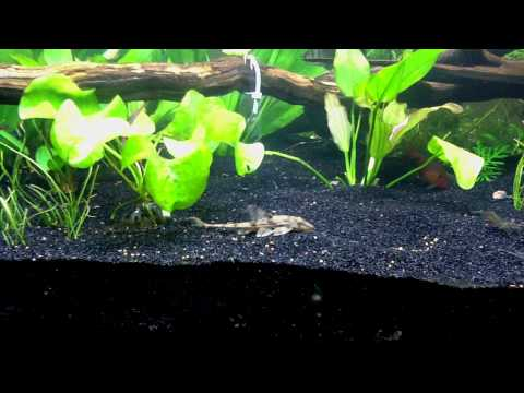 Great Tip On Feeding Bottom Feeder Fish