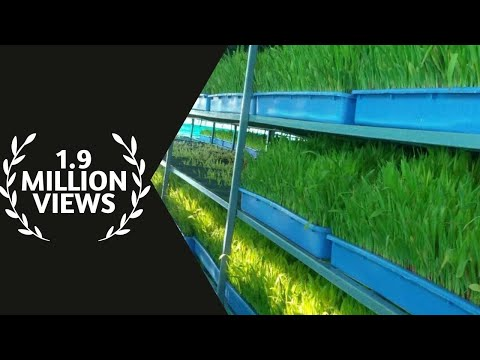 hydroponic grass for goats , junnar goat farm ,Pune ,Maharashtra,India  news on jai maharashtra news