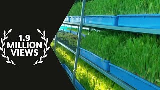 hydrophonic grass for goats , junnar goat farm ,Pune ,Maharashtra,India  news on jai maharashtra new