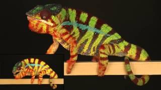 I colori dei camaleonti