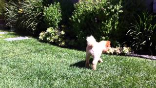 Pomeranian Pees While Walking On Front Paws