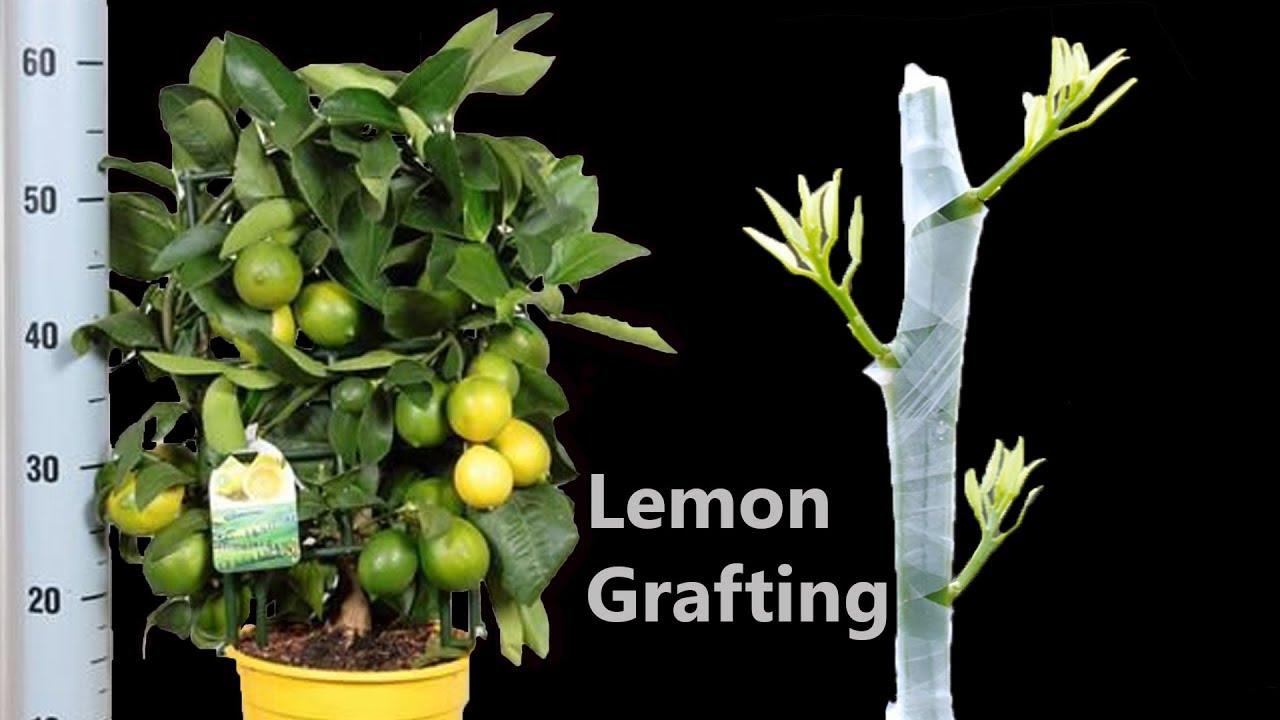 Grafting Citrus Tree Cleft Grafting Fruit Tree Youtube