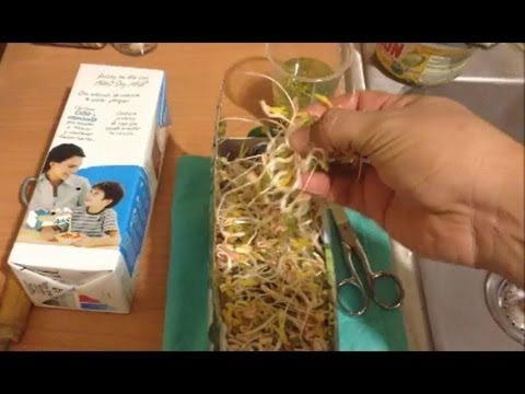Como hacer Brotes de Soja, Germinados de Soya, Germinated Soybean