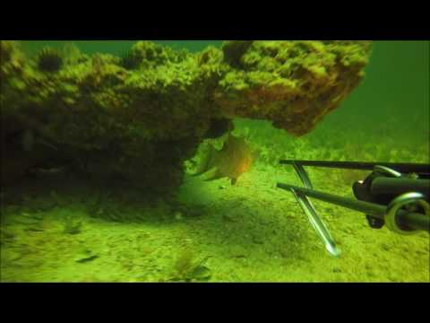 Spearfishing Gulf of Mexico Hogfish, Grouper, Snapper