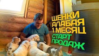 Щенки Алабая 1 месяц // Среднеазиатская овчарка
