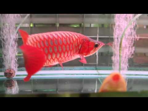 cá rồng huyết long siêu đẹp