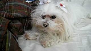 Chloe The Maltese Dog