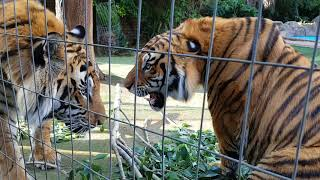 this is how a tiger say it is mine
