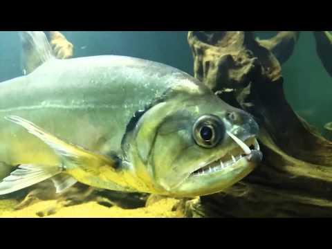 Payara 'Hydrolycus Armatus' - MonsterFish [HD]