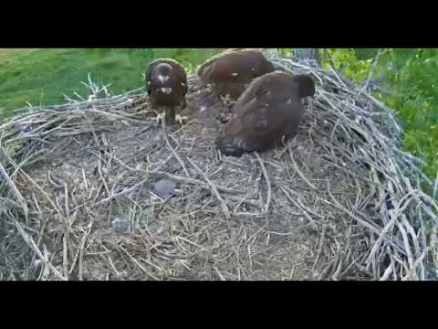 Fort St  Vrain eagles Platteville CO  5 25 18 720pm Pray delivery & selffeeding all 3 eaglets ate so