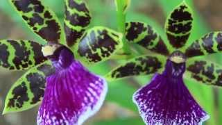 All About the Zygopetalum Orchid