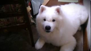 真っ白、白熊のようなサモエド犬taroの1日に密着!!