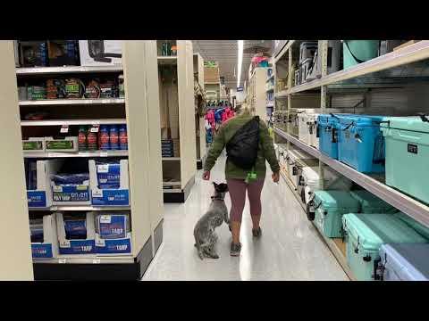 5 Month Old Blue Heeler   Best Blue Heeler Dog Training   Off Leash K9   Board and Train   Oklahoma