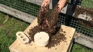 moving honeybee swarm into Bee Sphere
