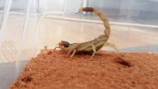 daethstalker scorpion