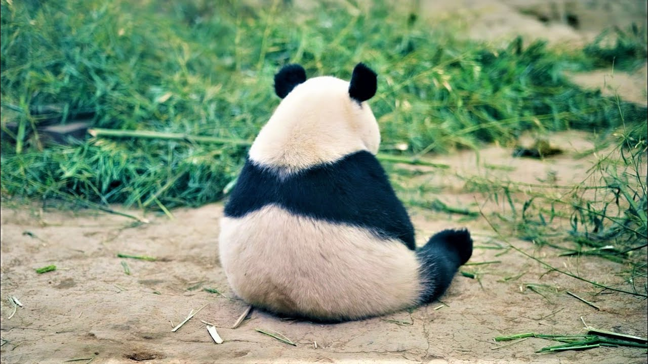 Here Is What Pandas Do When They Are Sad