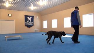 Mac (presa Canario) Boot Camp Dog Training Video