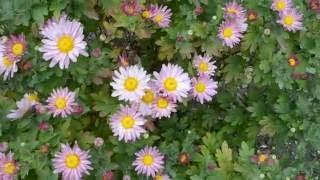 видео Хризантема. Посадка хризантемы осенью