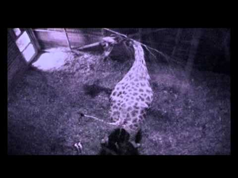 Thumbnail: The Zoo: Expecting mother Maeve the giraffe goes in to labour