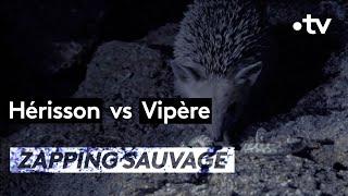 Hérisson VS Vipère - ZAPPING SAUVAGE