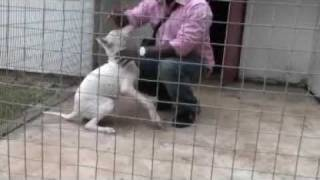 Puppy Temperament Test Continued (bully Kutta)