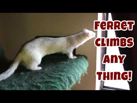 Ferret Climbs Any Thing! - Our Other Adorable Pets 2 - VOL. 40