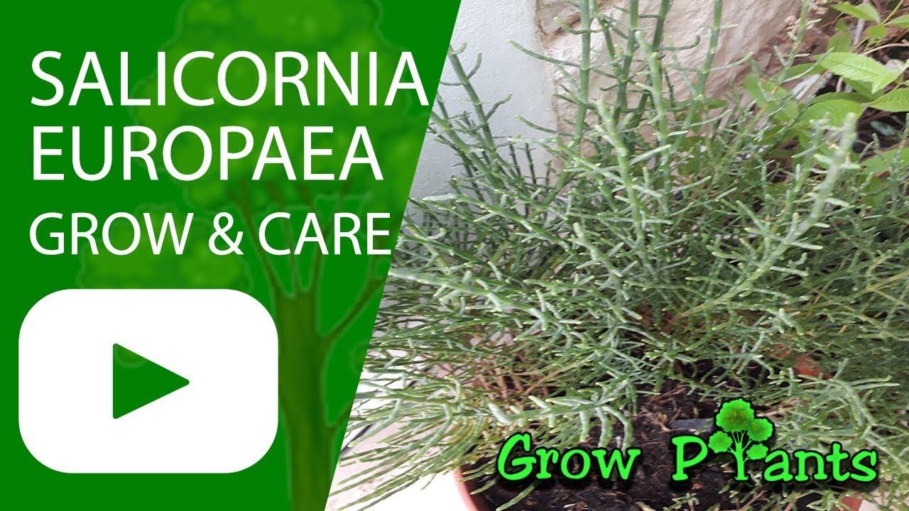 Salicornia europaea - grow, care, Harvest and Eat