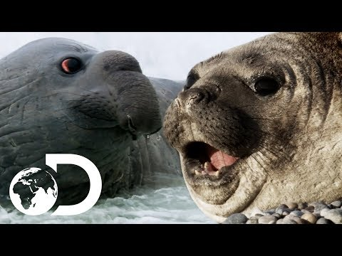 Elephant Seals Come Ashore To Breed | Wildest Latin America