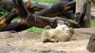 Knut The Fast Growing Icebear