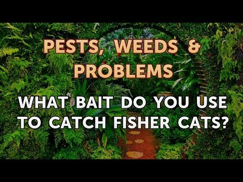 What Bait Do You Use To Catch Fisher Cats?