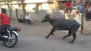 Sangli buffelo race 2016