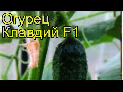 Огурец Клавдий F1. Краткий обзор, описание характеристик cucumis sativus Klavdiy F1